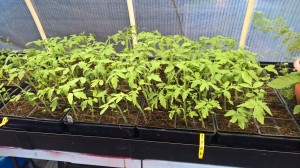 Tomato seedlings 6-18